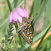 Large Chequered Skipper  (Tom Brereton)