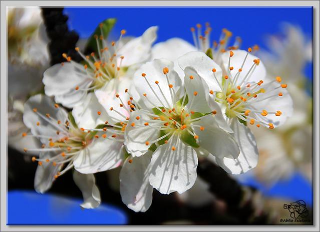 1 Caderechas en flor