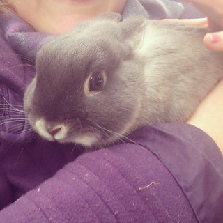#Hello I'm Sophie the rabbit - how are you? #fmsphotoaday #aprilphotoaday #Netherland #dwarf #rabbit #bunny #bunniesofinstagram #instabunny #instarabbit #cute #instanature #purple #grey #little