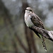 Small photo of Pallid Cuckoo
