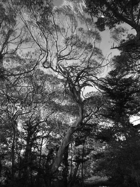 Eucalytpus in Golden Gate Park, San Francisco (2013)