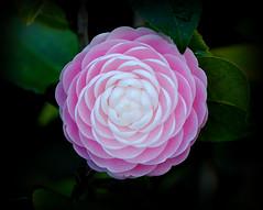 garden roses(0.0), camellia sasanqua(0.0), rosa 㗠centifolia(0.0), camellia(1.0), flower(1.0), plant(1.0), macro photography(1.0), flora(1.0), camellia japonica(1.0), theaceae(1.0), close-up(1.0), pink(1.0), petal(1.0),