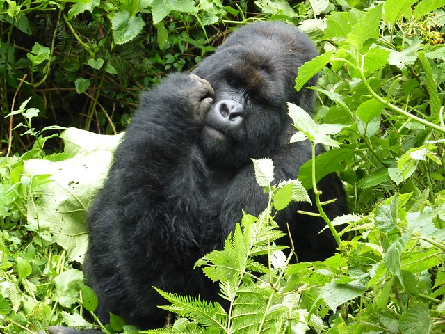 Mountain gorilla - Kwitonda group, silverback number 3 (II)