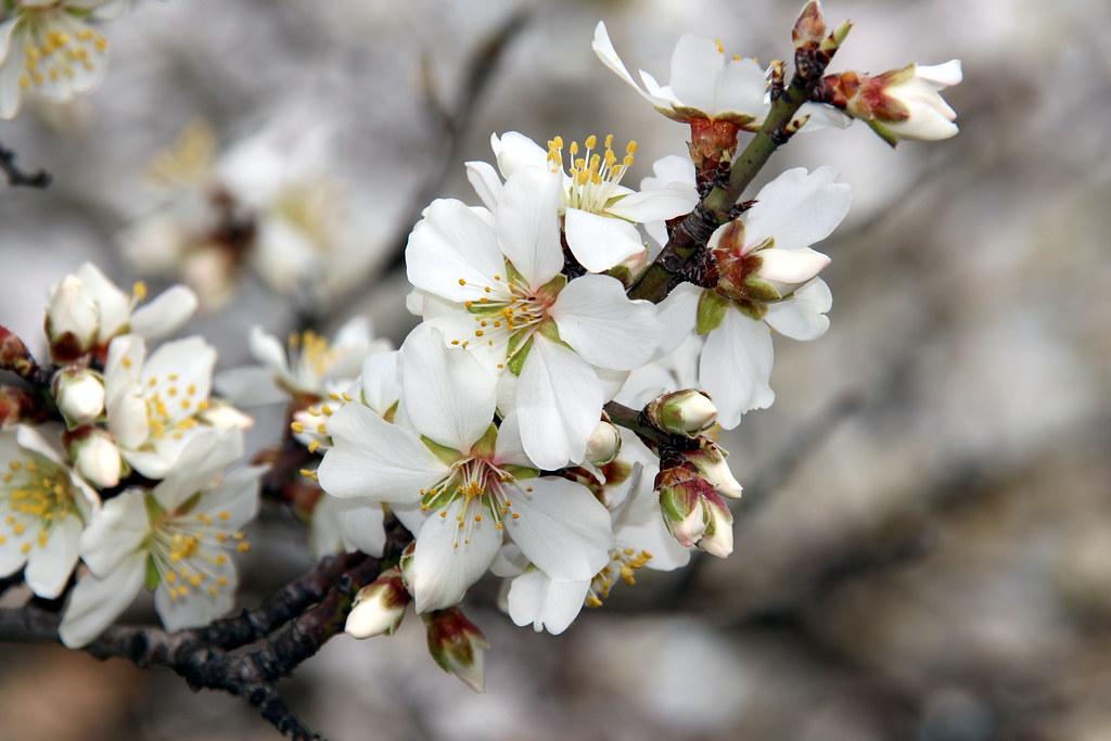 Valdemoro, flores de un almendro