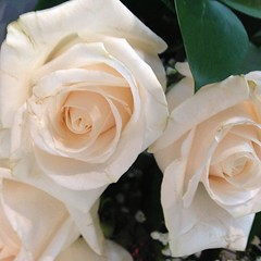 gardenia(0.0), flower bouquet(0.0), pink(0.0), garden roses(1.0), cut flowers(1.0), floribunda(1.0), flower(1.0), plant(1.0), floristry(1.0), petal(1.0),