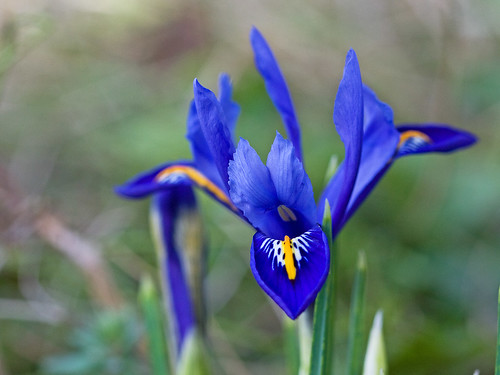 Miniature Irish Iris