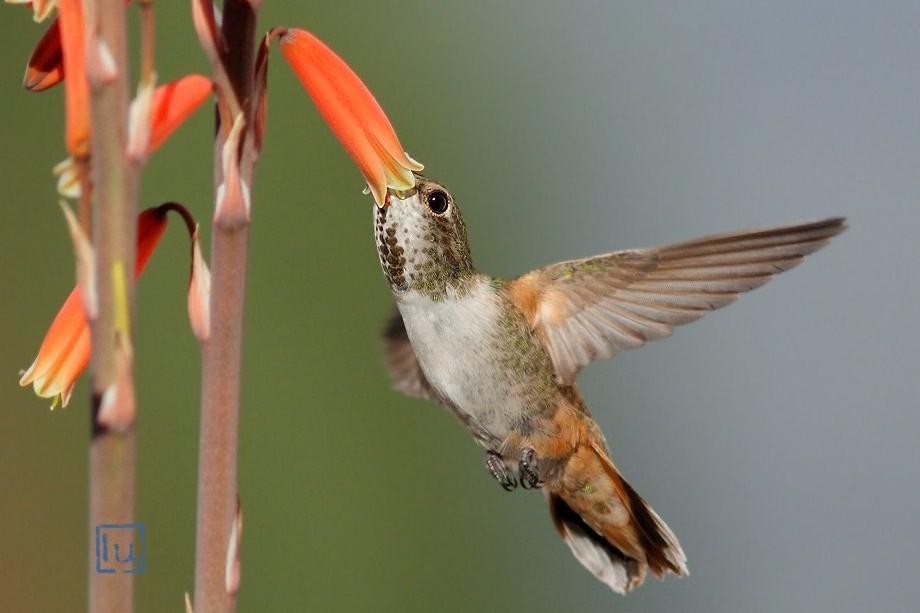 Allen's Hummingbird 021913