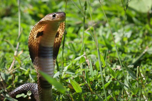 ~ Baby Cobra ~