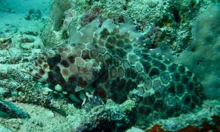 Honeycomb Grouper (Epinephelus merra)