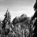 Coquitlam Mountain with snowy b&w trees