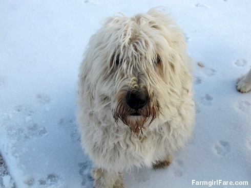 Marta Beast, the abominable snow dog - FarmgirlFare.com