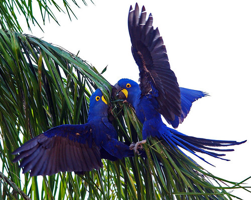 Hyacinth Macaws Fighting
