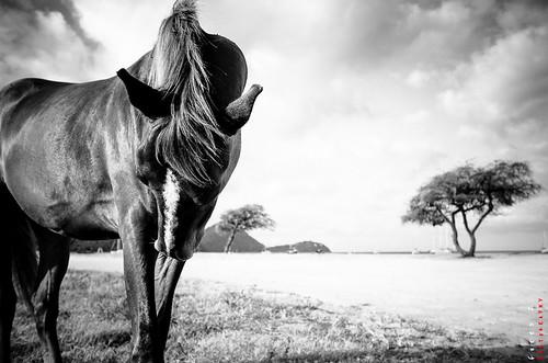 horse beach monochrome sunrise island blackwhite caribbean rodneybay blackwhitephotos
