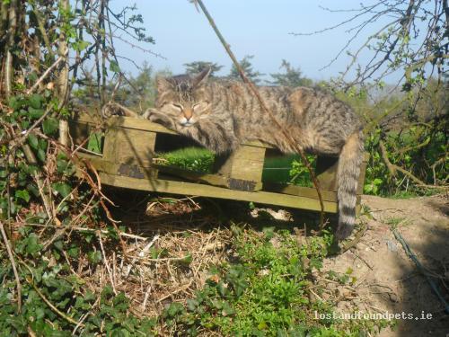 Sun, Jul 22nd, 2012 Lost Male Cat - Kilcolman East, Rathkeale, Limerick