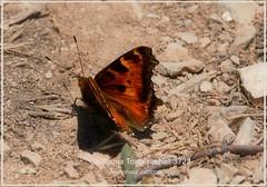 California Tortoiseshell St. George Utah butterfly photography by Ron Birrrell; l DSC_3723