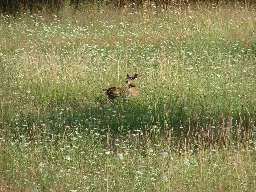 Deer in a meadow at Basket Slough National Wildlife Refuge