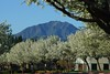 Trees in bloom on Country Hills Drive with Mount Diablo in the background