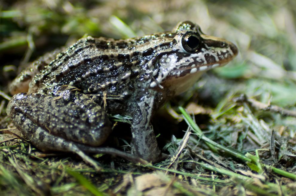 """Una rana fue vista en el recinto cercano a la Estación """"Tres Gigantes"""", alimentándose de los insectos que caían al suelo debido a las lámparas eléctricas encendidas debido a nuestra llegada. (Elton Núñez)"""