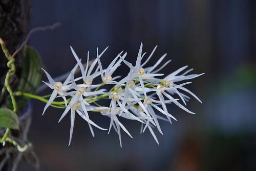 Dockrillia linguiforme by salabat