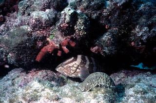 Nassau Grouper at John Pennekamp Coral Reef State Park: Key Largo, Florida