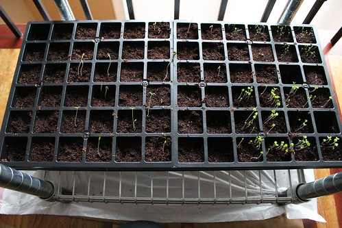 Seeds starting 2013 | coppertopkitchen.blogspot.com