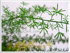 Needle-like foliage of Asparagus densiflorus 'Sprengeri' (Sprengeri Asparagus Fern, Asparagus/Foxtail Fern, Plume Asparagus)
