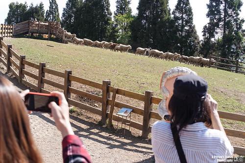 牧羊犬趕羊.拍攝