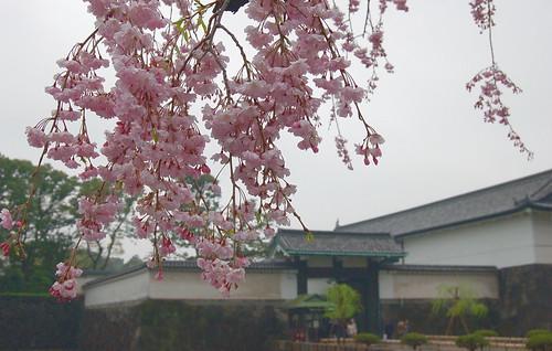 大手門の桜