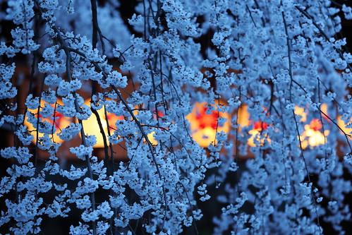 flower japan night spring kyoto shrine 京都 桜 日本 sakura lantern 平野神社 夜桜 cherryblossomviewing hirano シダレザクラ shidaresakura