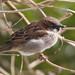 Sparrow (2 of 4).jpg by Joanne Goldby