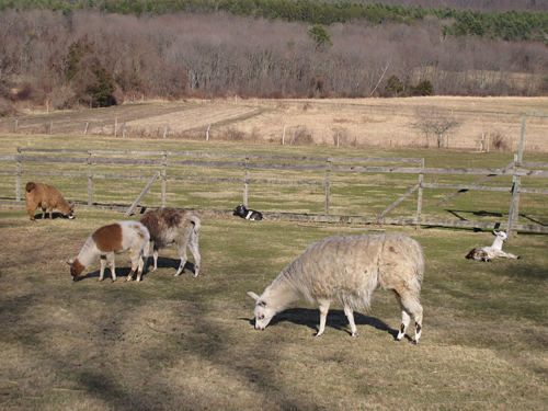 Amherst Llamas