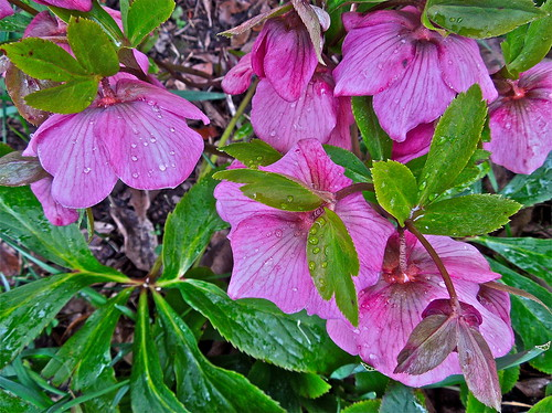 Hellebores in the Sleet .......(94/365) by Irene_A_