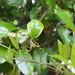 Garden Inventory: Clytostoma callistegioides - 04