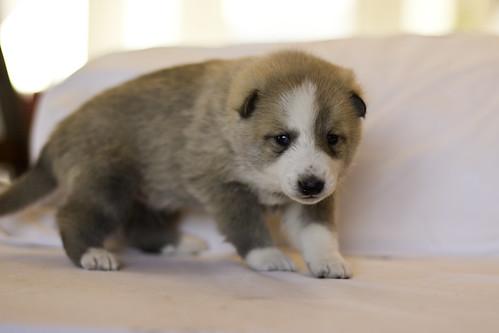 Ike-Kilbe-Pup2-Male(Day 22)-5