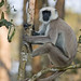 Grey Langur (Cliff Garratt)