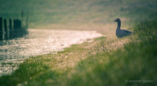 life morning sunset sun bird nature water netherlands grass birds fog sunrise canon river eos geese scenery bokeh good earth wildlife scenic photographers sigma os goose shore planet 5d 500 50 wouter dlsr leeuwen beneden tjaden tumblr lensblr