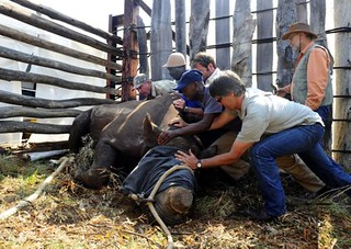 Rhino being fitted with GPS device