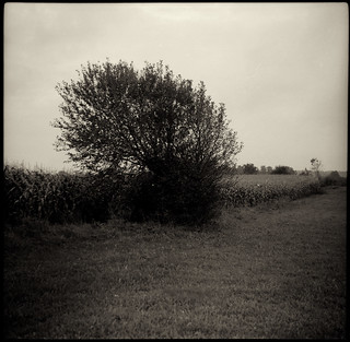 Corn field II