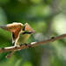 Little Green Bee Eater July 2016 Haripur