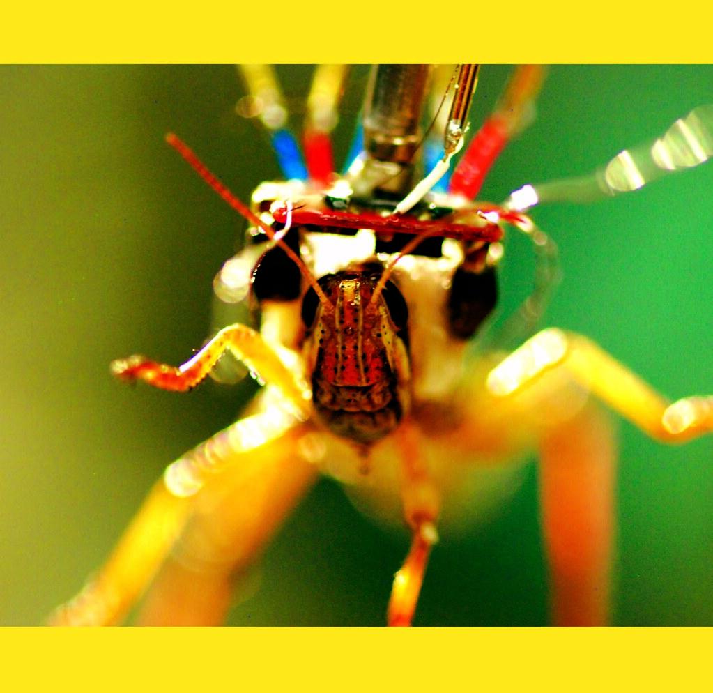 Gabbiani_Harrison_Grasshopper_Image
