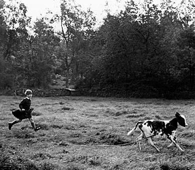 1957 Prince Charles chases a runaway calf