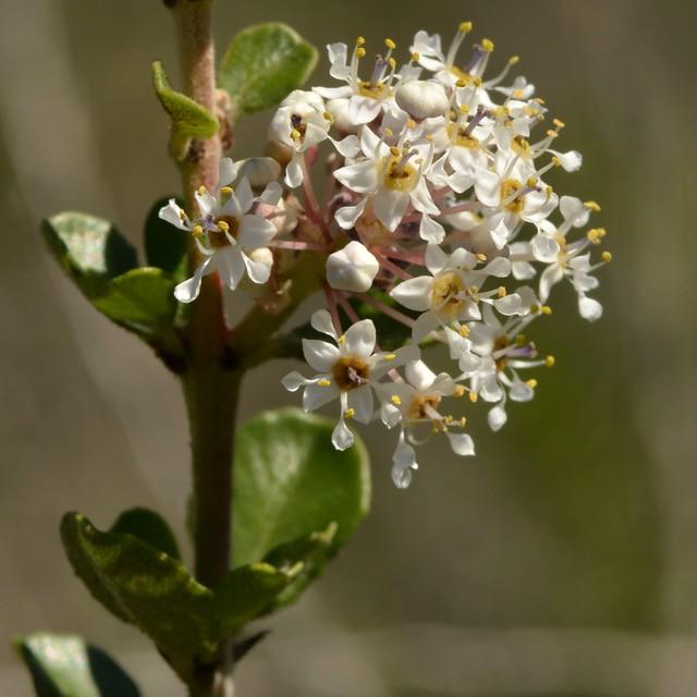 Sweet-smelling White Flowers Of Native Buck Brush
