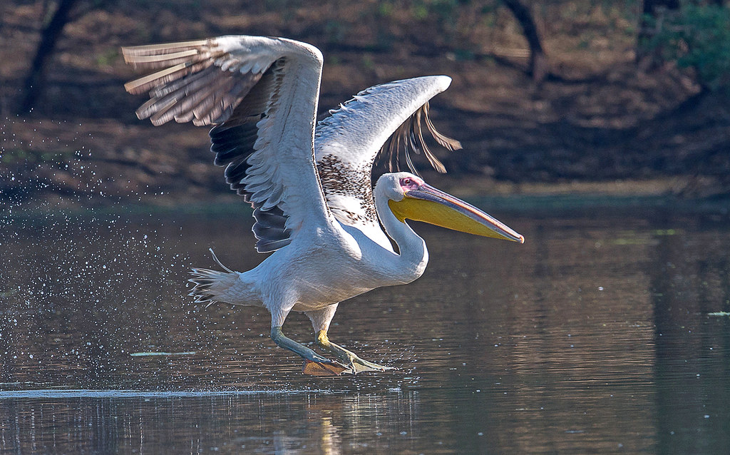 A Great White Pelican is About to Take off