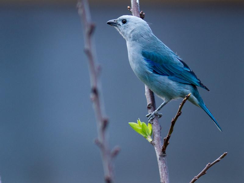 Imagen de una de las aves del Quindio: Azulejo Comun (Thraupis episcopus)