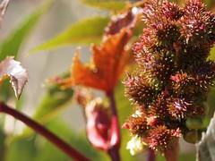 Rincinus communis (Castor Bean Plant)