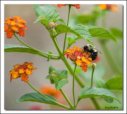 plant flower nature insect nikon louisiana folsom bee bumblebee lantana bombus genusbombus d700 nikon14xtc nikon300mmf4lens mizellfarms mygearandme mygearandmepremium photoshopcs6