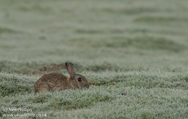 Rabbit in misty frost-2