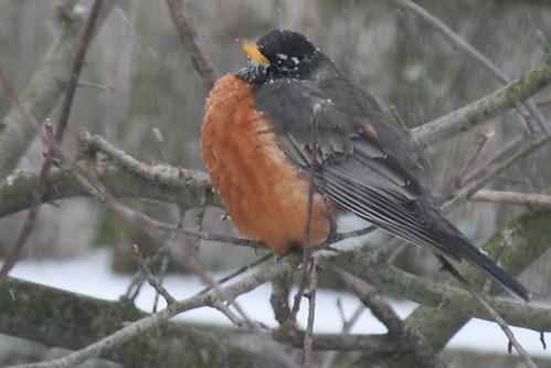 robin in the snow 014