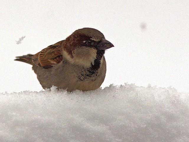 House Sparrow 20130305