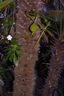 Impatiens sodenii on a Palm